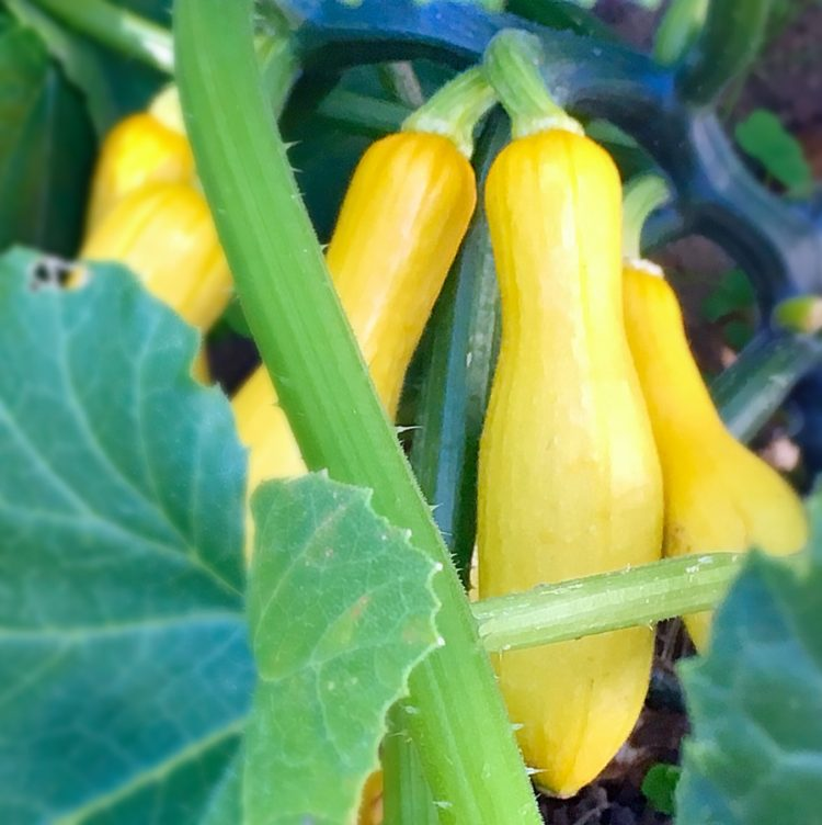 how to grow summer squash at home