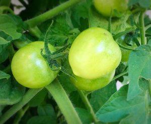 tomato gardening